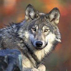 WOLF UA